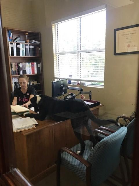 Lucy helping Debbie with her work.  Lucy is laying across Debbie's desk with her back feet on a chair and her body and front paws on the desk.