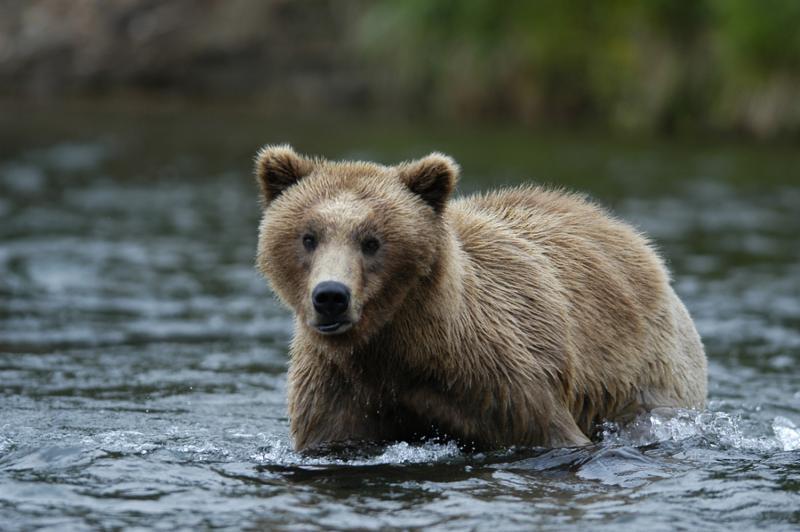 Brown Bear Walking Across Brooks River Alaska