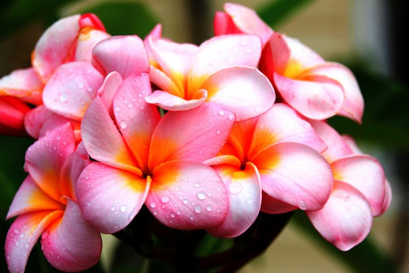 Pink and yellow plumeria flower from hawaii