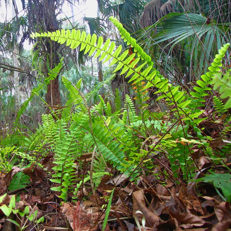 Ferns grow in the understory of Highlands Hammock State Park of central Florida.