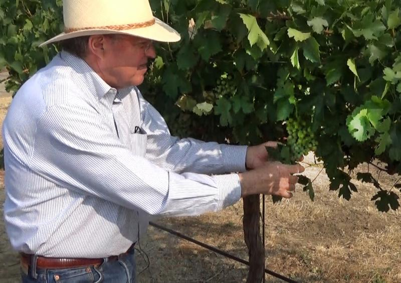 Dr. Andy Walker examines a cluster of grape from a winegrape vine that has been bred to be resistant to Pierce's disease.