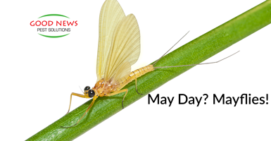 More About Mayflies