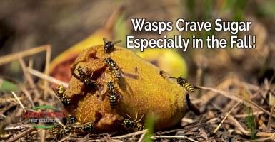 Wasps crave sugar