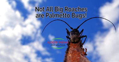 Not all roaches are palmetto bugs