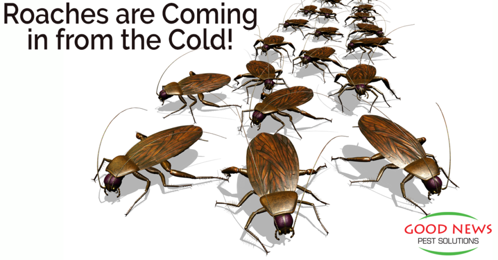 Roaches Coming in from the Cold