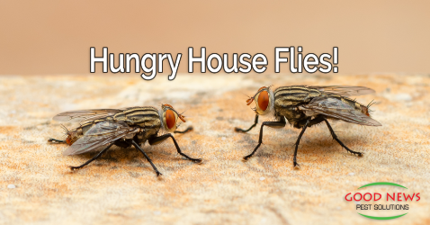 Hungry House Flies