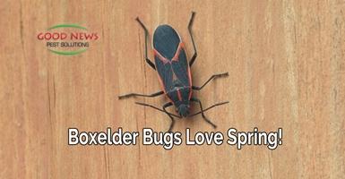 Boxelder Bugs Love Spring!