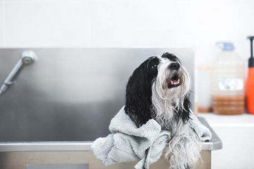 beautiful Tibetan terrier dog with soft towel after washing procedure in grooming salon_ selective focus
