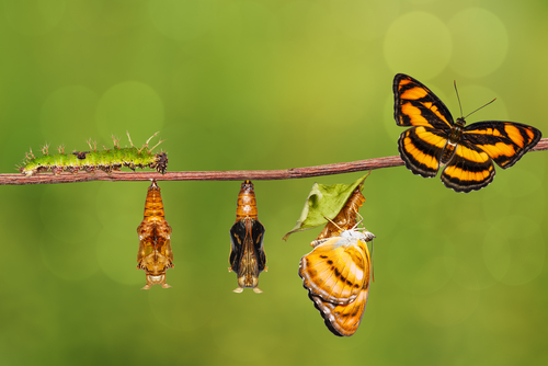 Life cycle of colour segeant butterfly   Athyma nefte   from caterpillar and pupa _ metamorphosis _ growth hanging on twig