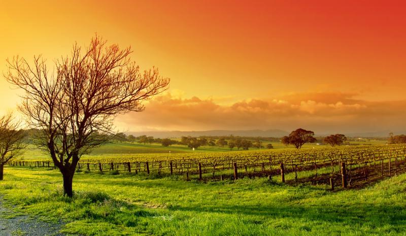 vineyard_landscape_sunset.jpg