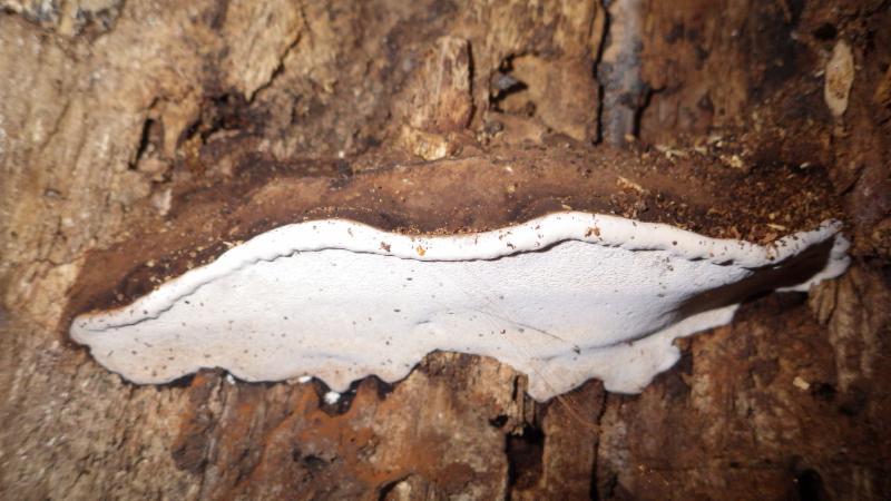 Fruiting body of Heterobasidion occidentale