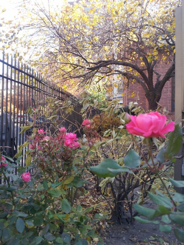 Rose in CHA Garden