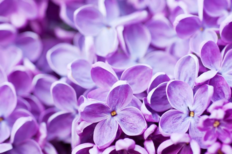 lilac_flowers_background.jpg