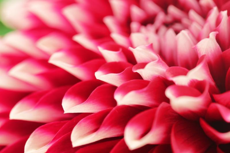 pink_dahlia_closeup.jpg