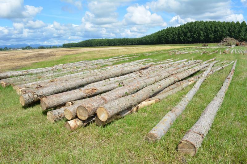 Poplar tree logs