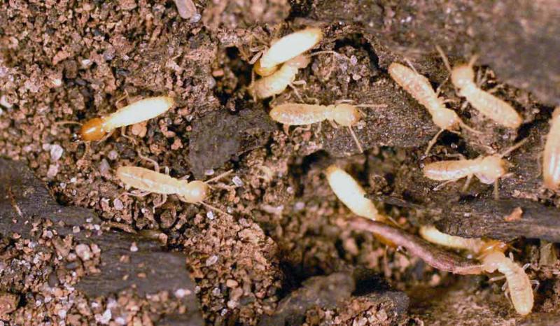 Asian Subterranean termite