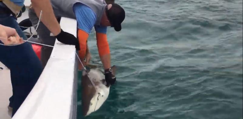 blacktip shark tag