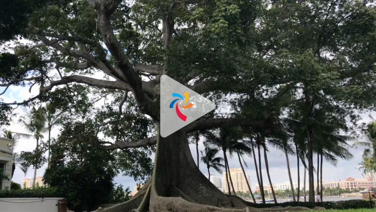 Kapok tree video