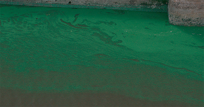 algae in C-44 from Lake Okeechobee
