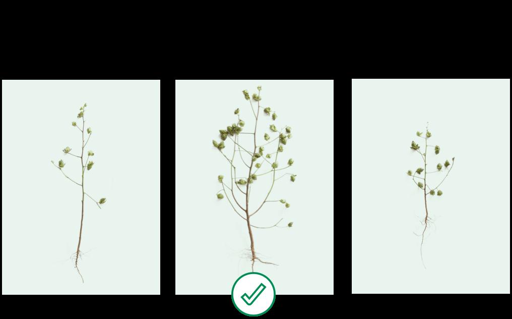 Gaucho insecticide plus fungicide, ~12 bolls per plant vs AgLogic 15GG plus fungicide, ~23 bolls per plant vs Untreated Control fungicide only, ~18 bolls per plant