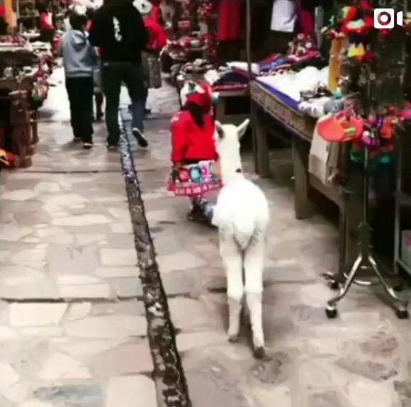 Little Girl and Alpaca