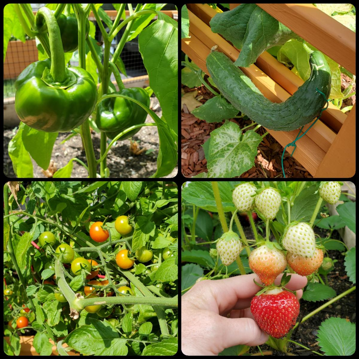 A collage of fruits and vegetables growing in a backyard garden.