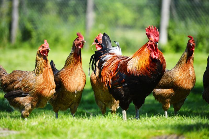 chickens_on_grass.jpg