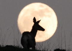 Image showing a mule deer in front of a full moon.