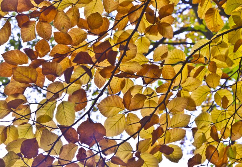 oak_leaves_in_fall.jpg