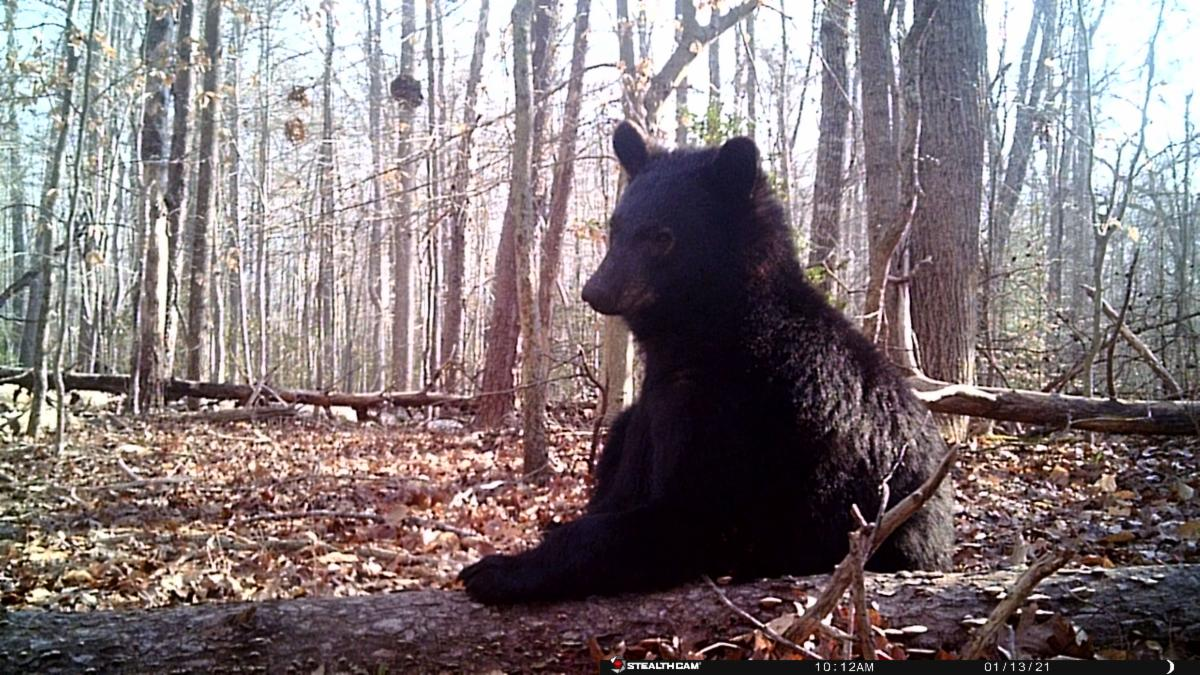 Photo of a sitting juvenile black bear in a leafless winter forest.