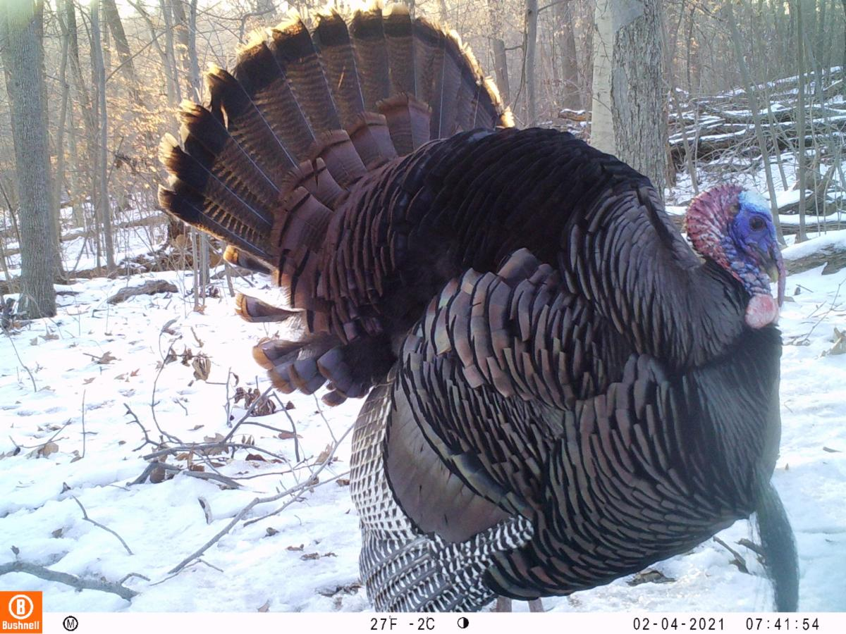 Color photo of a turkey with full feathers displayed