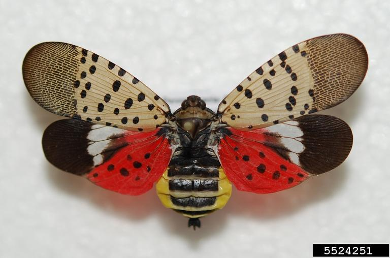 Adult spotted lanternfly with wings spread showing namesake spots
