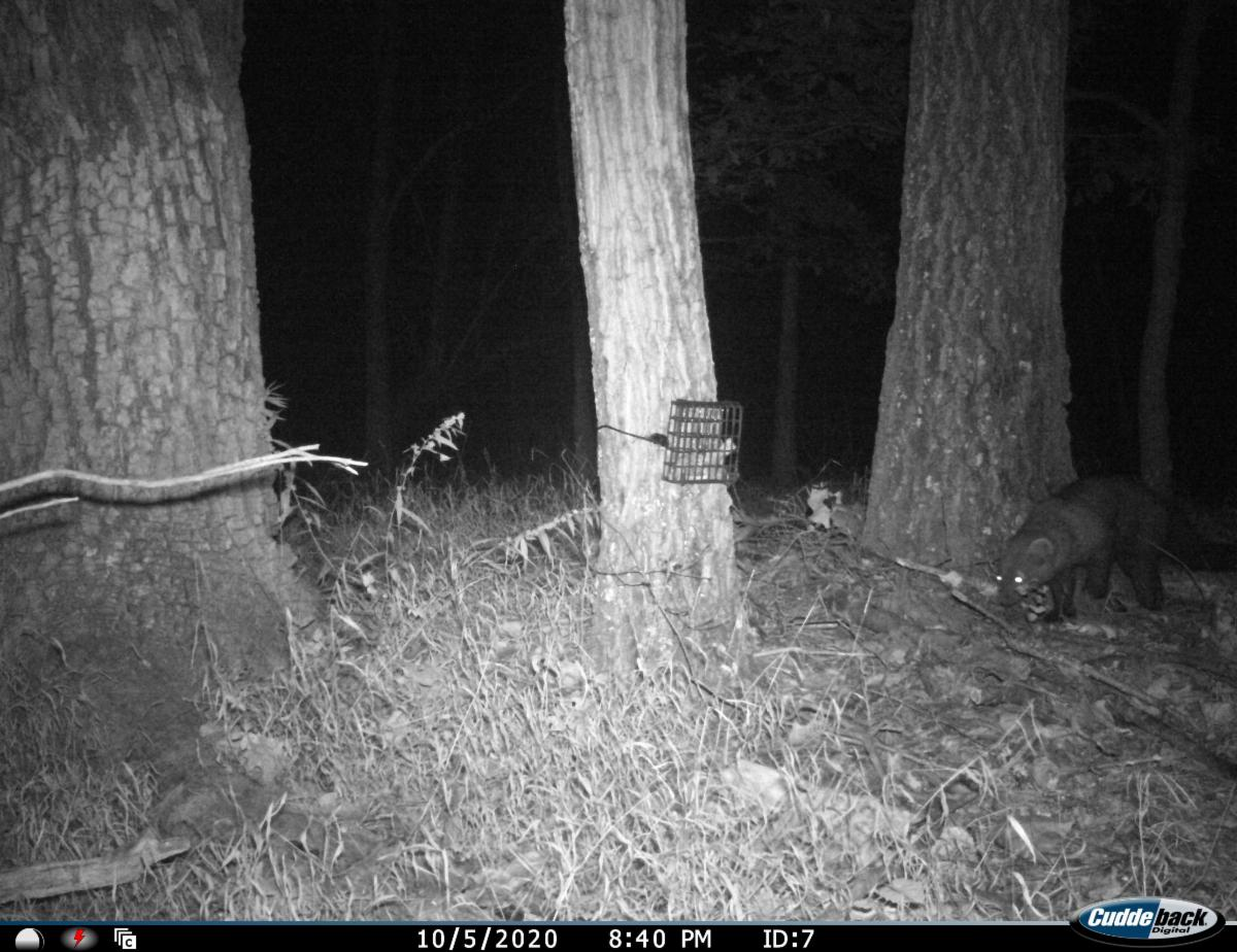 A black and white photo at night of a fisher cat approaching a wire box on a tree