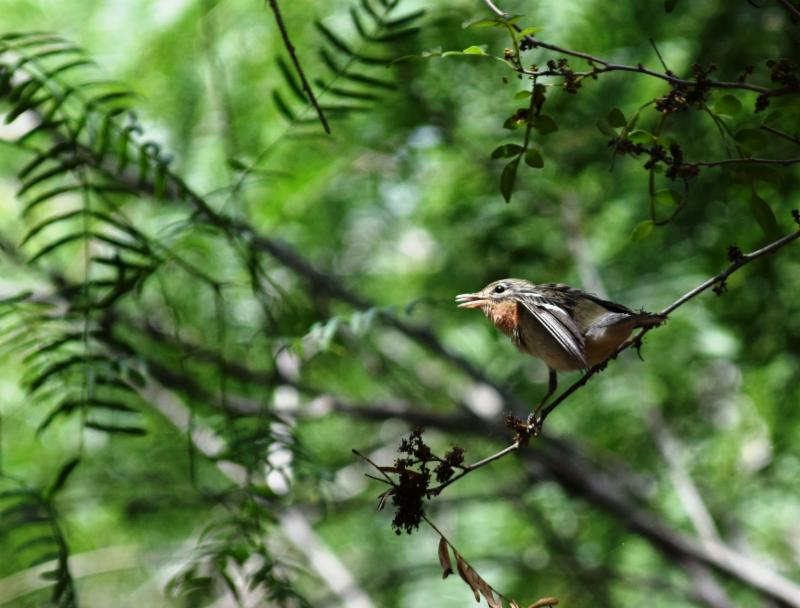 A small warber perches on a shady everygreen branch