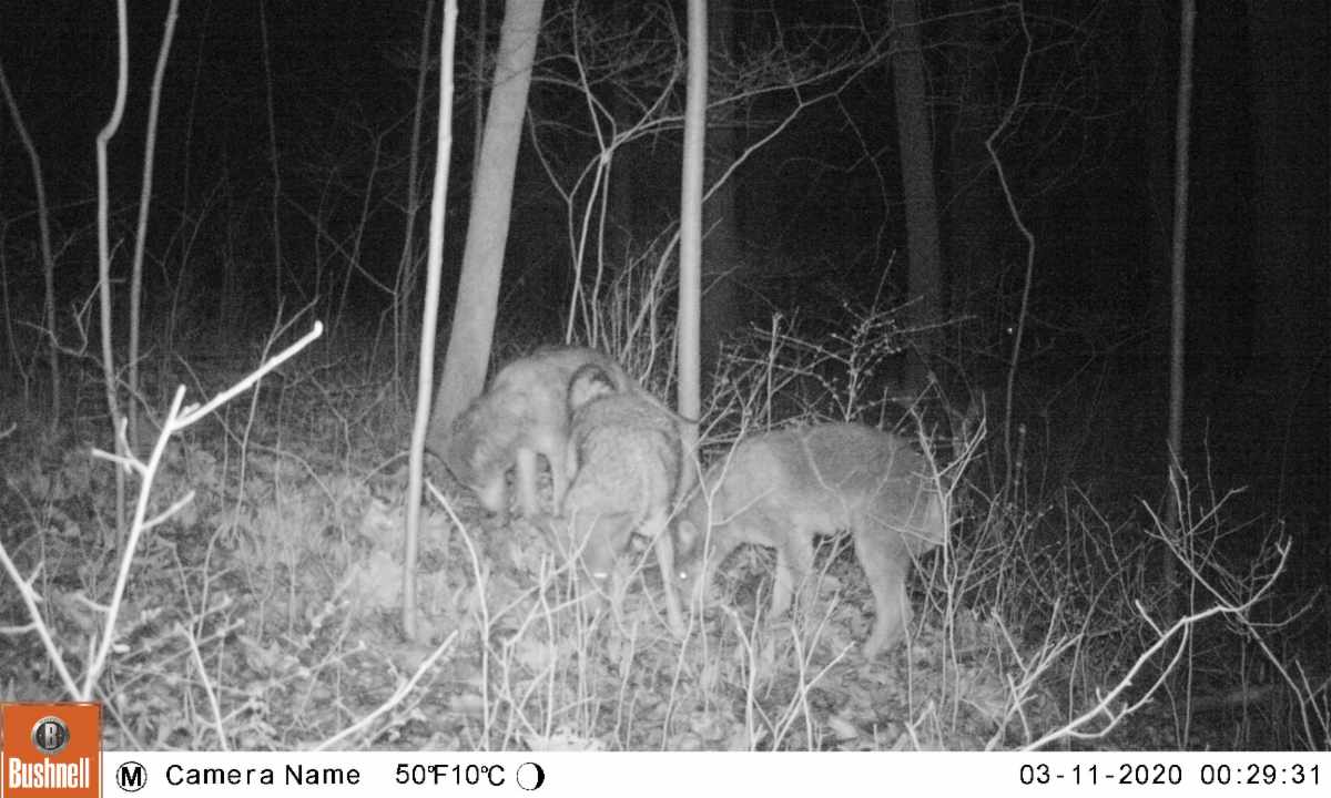A trail camera image of three coyotes in the woods at night