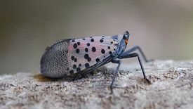 A moth-like spotted lanternfly sits on a gray tree branch with wings folded back. It has a mostly gray body with black legs and on the upper portion of its wing a faint pink with black spots.