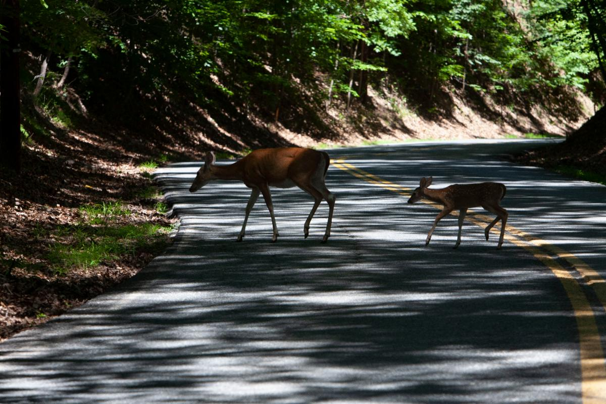 A mother white-tailed deer and her fawn cross a road in dappled forest shade.