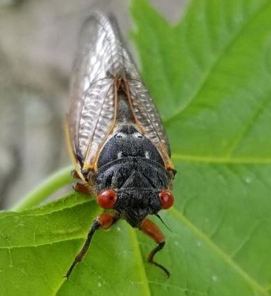 red eyed periodical cicada on a green maple leaf