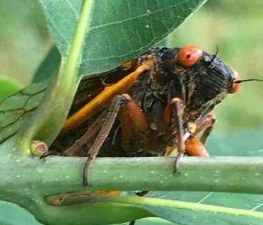 Brood X cicada peeking out from behind a green oak leaf
