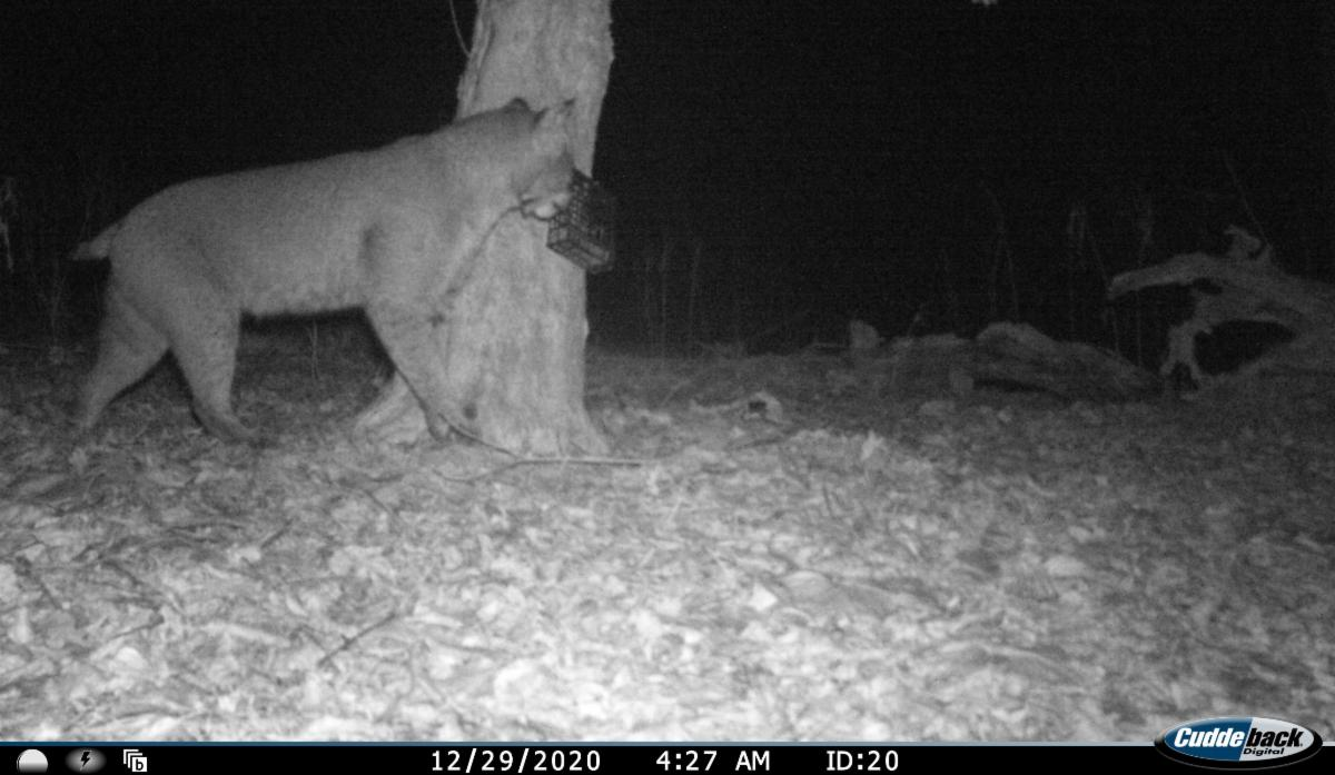 Nightime photo of a bobcat sniffing a tree mounted lure.