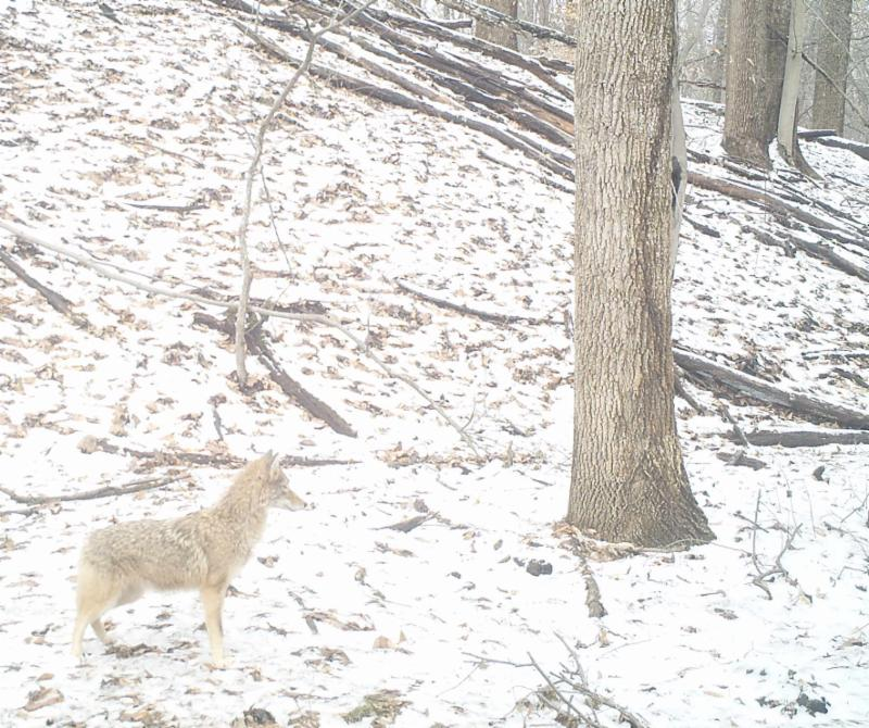 A light gray coyote blends into the snow covered forest floor