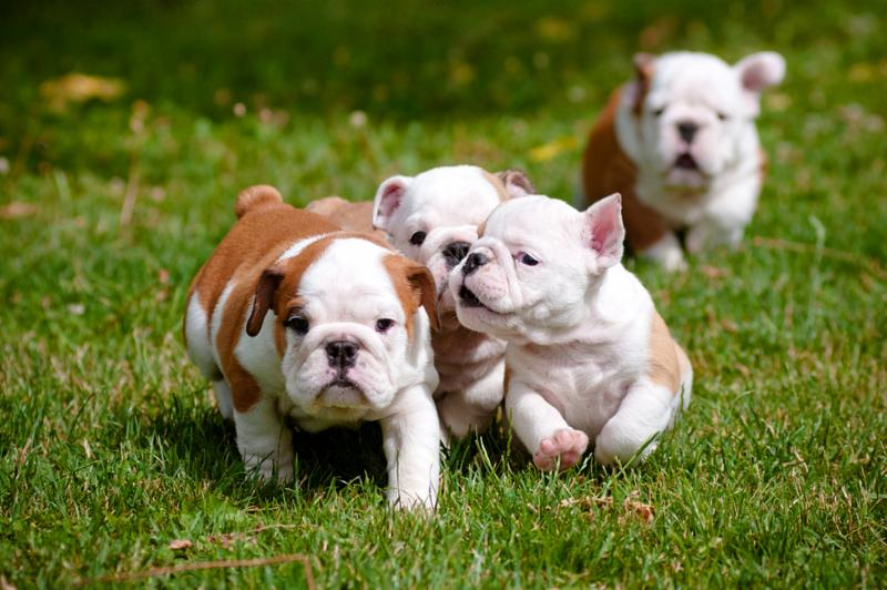 english_bulldog_puppies.jpg