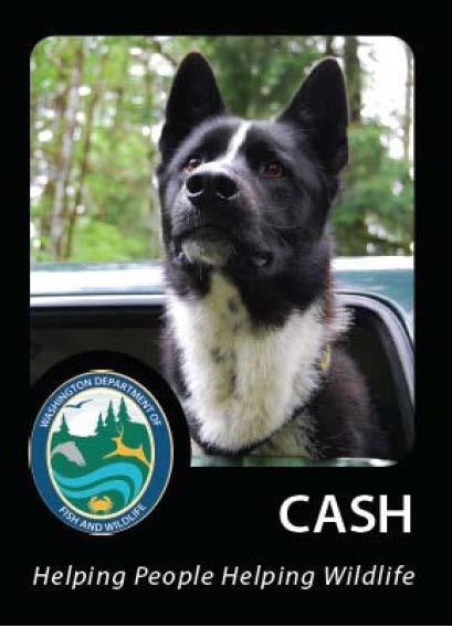Cash - Karelian Bear Dog