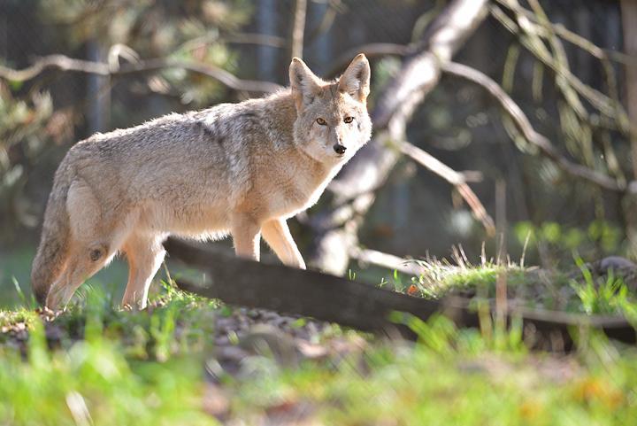 carosal coyote