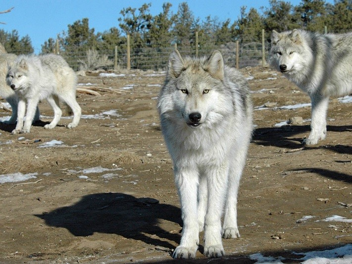 McCleery Ranch wolves