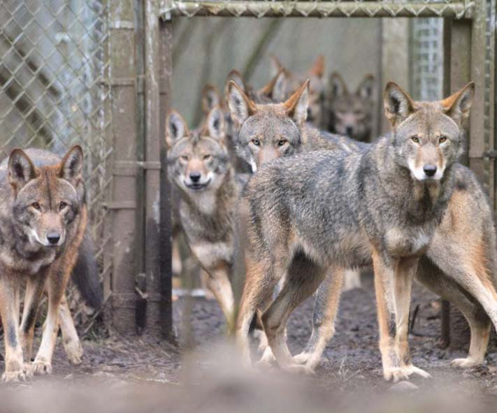Family of red wolves born at Wolf Haven_ photo by Julie Lawrence