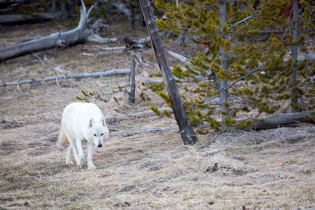 12-year old wolf killed