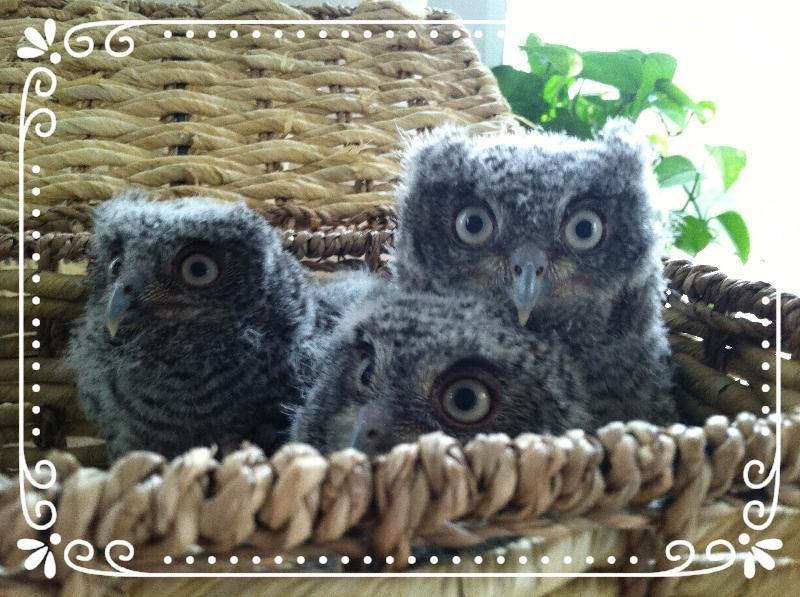 Bay Screech Owls