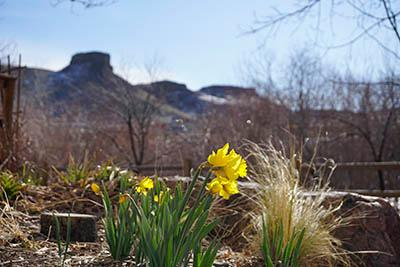 Daffodil and castle rock