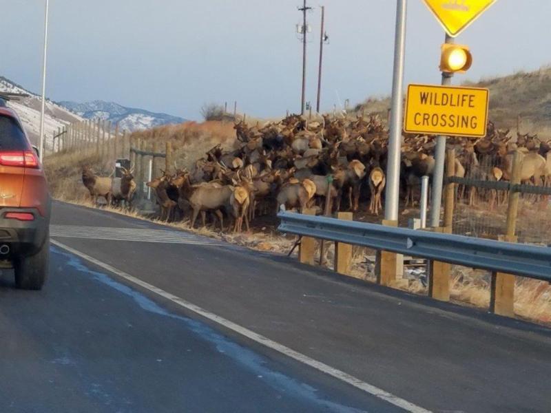 Elk at the Wildlife Crossing